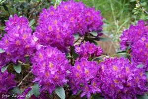Rhododendron catawbiense - różanecznik katawbijski