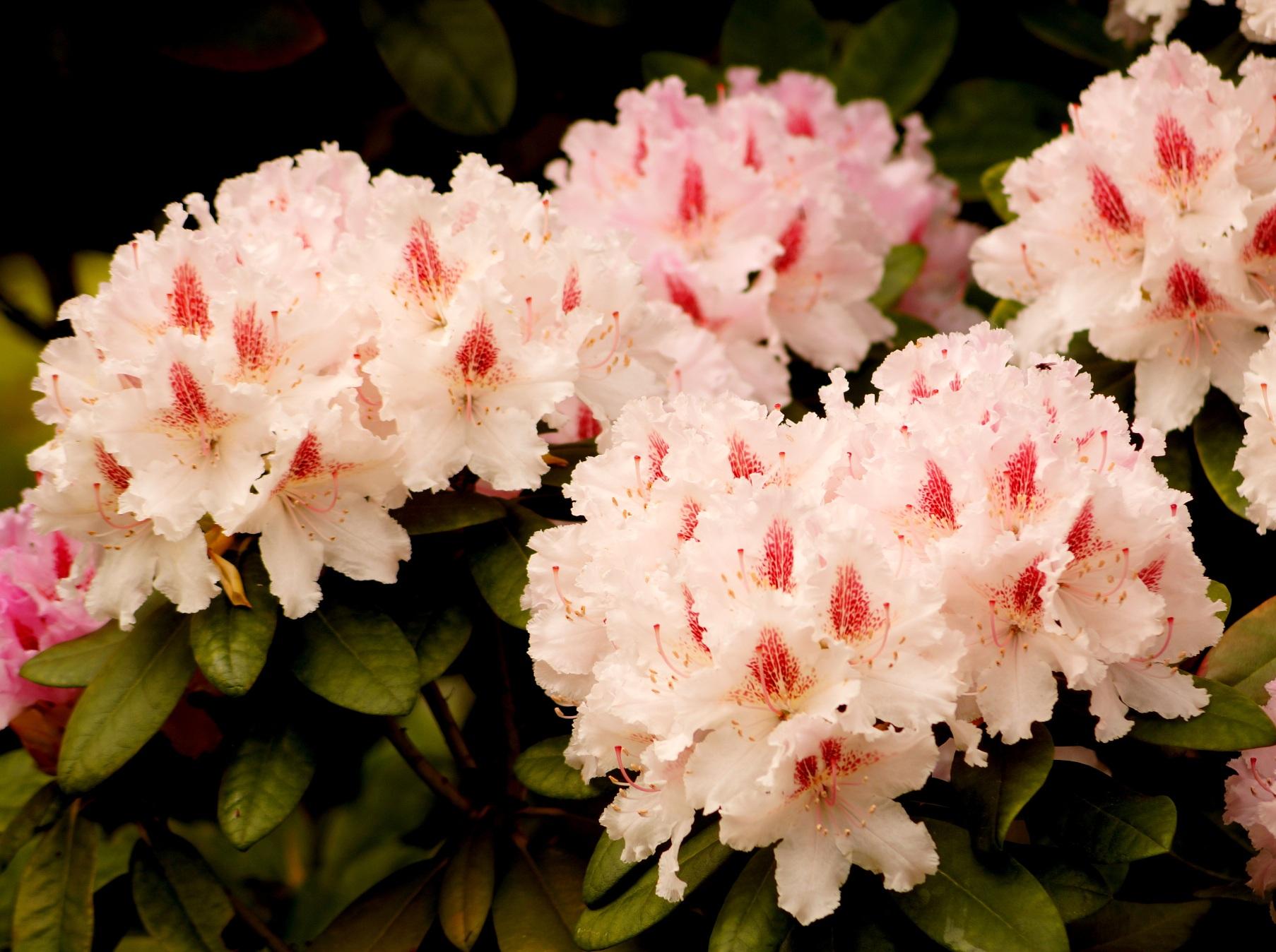 Rhododendron catawbiense – różanecznik katawbijski