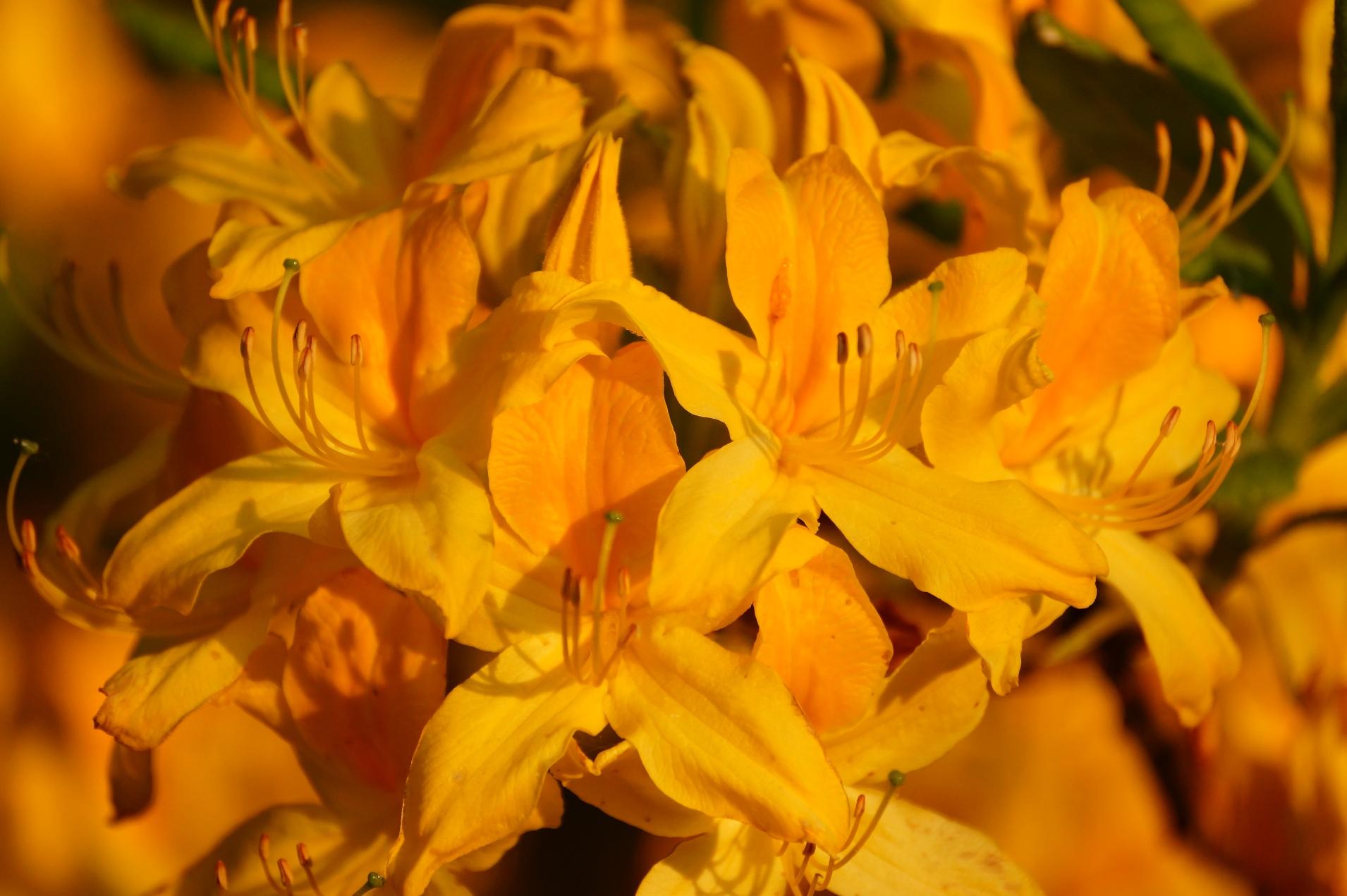 Rhododendron flavum, Rhododendron luteum – azalia pontyjska, różanecznik żółty