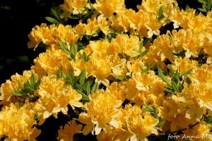 Rhododendron flavum, Rhododendron luteum - azalia pontyjska