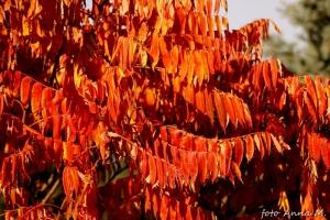 Sumak najładniej prezentuje się jesienią