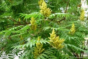 Rhus typhina - sumak octowiec, kwiaty