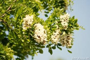 Robinia pseudoacacia - robinia akacjowa, robinia biała (grochodrzew)