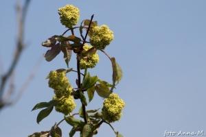 Sambucus racemosa - bez koralowy, kwiatosany