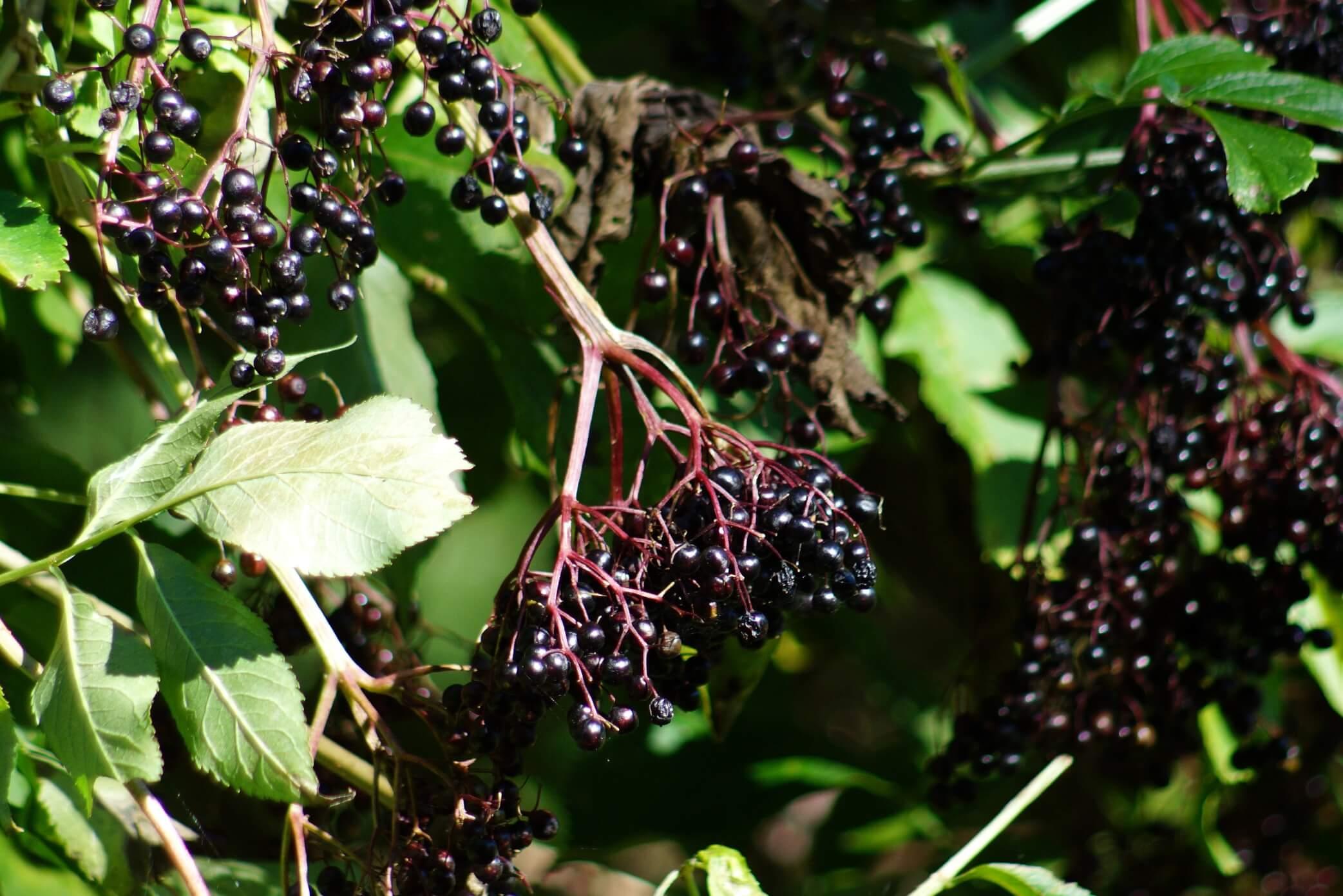 Sambucus nigra – bez czarny