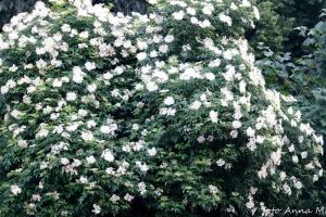 Sambucus nigra - bez czarny jest ozdobny także z kwiatów