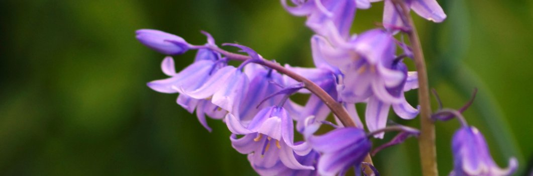 Scilla hispanica, Scilla campanulata, Hyacinthoides hispanica, Endymion hispanicus – cebulica hiszpańska, cebulica dzwonkowata