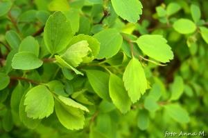 Spiraea vanhouttei - tawuła van Houtte`a, lekko klapowane liście