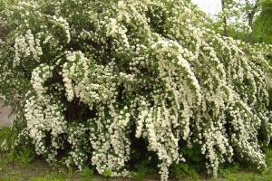 Spiraea vanhouttei - tawuła van Houtte`a najładniej prezentuje się w czasie kwitnienia