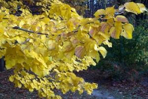 Jesienią liście lipy przebarwiają się na żółto