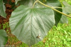 Lipa szerokolistna ma duże błyszczące liście