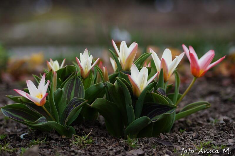 Tulipany Kaufmanna