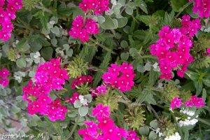 Verbena x hybrida - werbena mieszańcowa