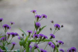 Verbena bonariensis – werbena patagońska