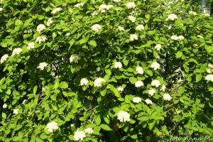 Viburnum lantana - kalina hordowina