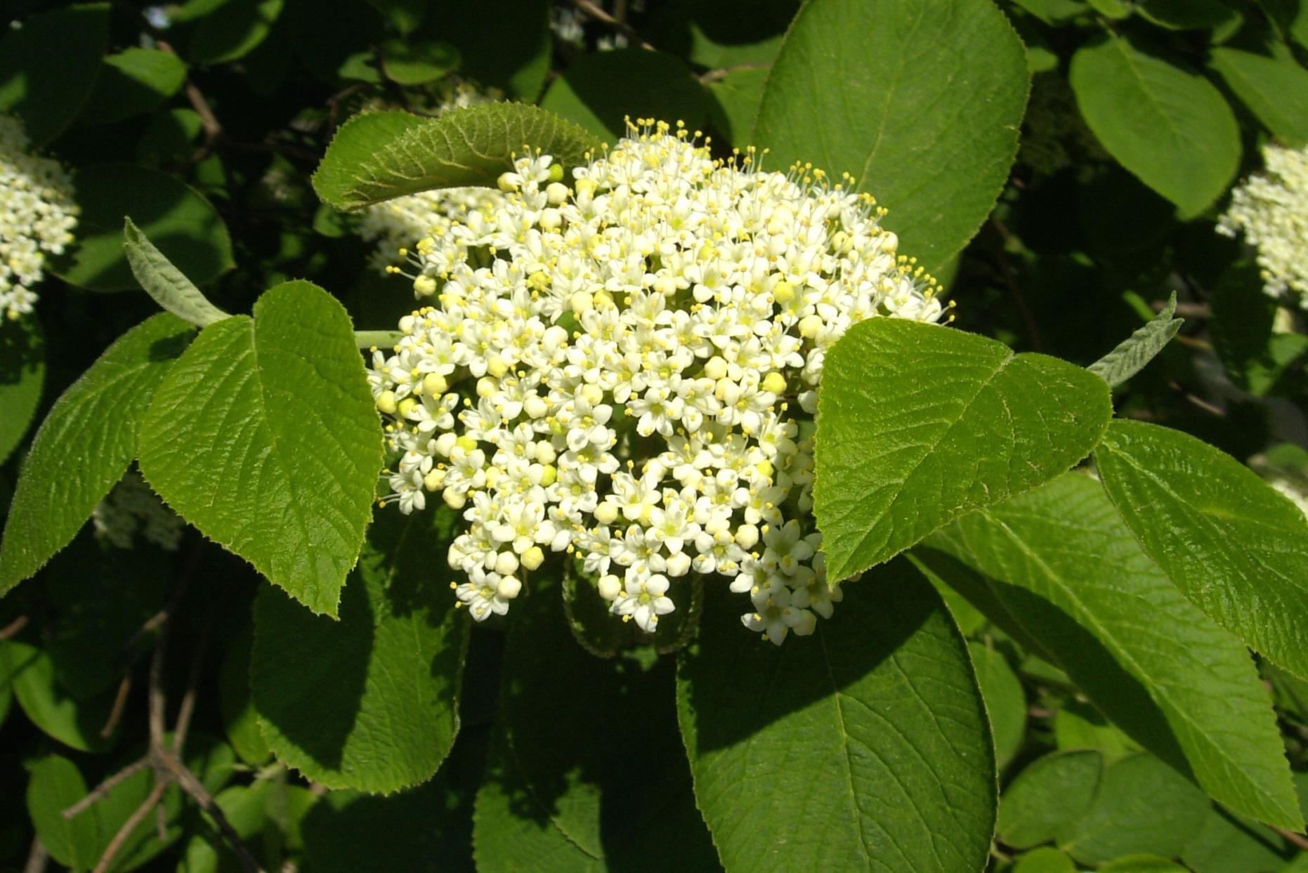 Viburnum lantana – kalina hordowina