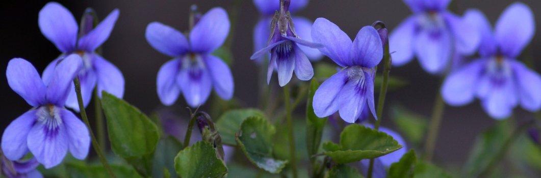 Viola odorata – fiołek wonny