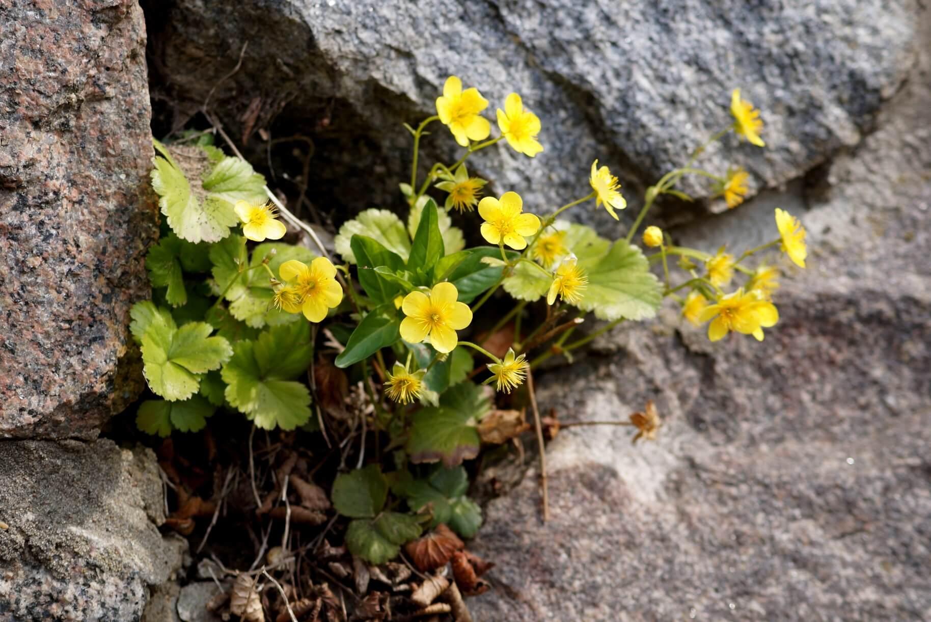 Waldsteinia ternata, Waldsteinia sibirica, Waldsteinia trifolia – pragnia syberyjska