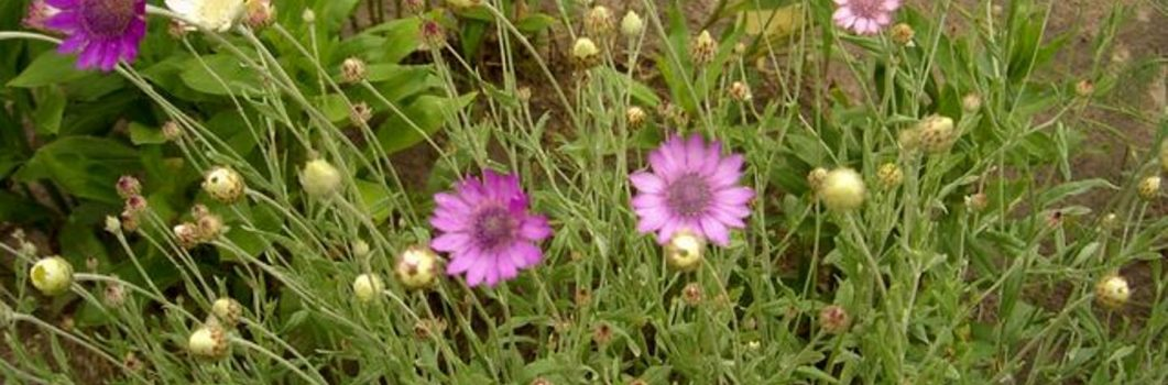 Xeranthemum annuum – suchokwiat roczny