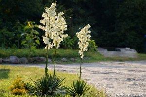 Yucca filamentosa, Yucca angustifolia - juka karolińska