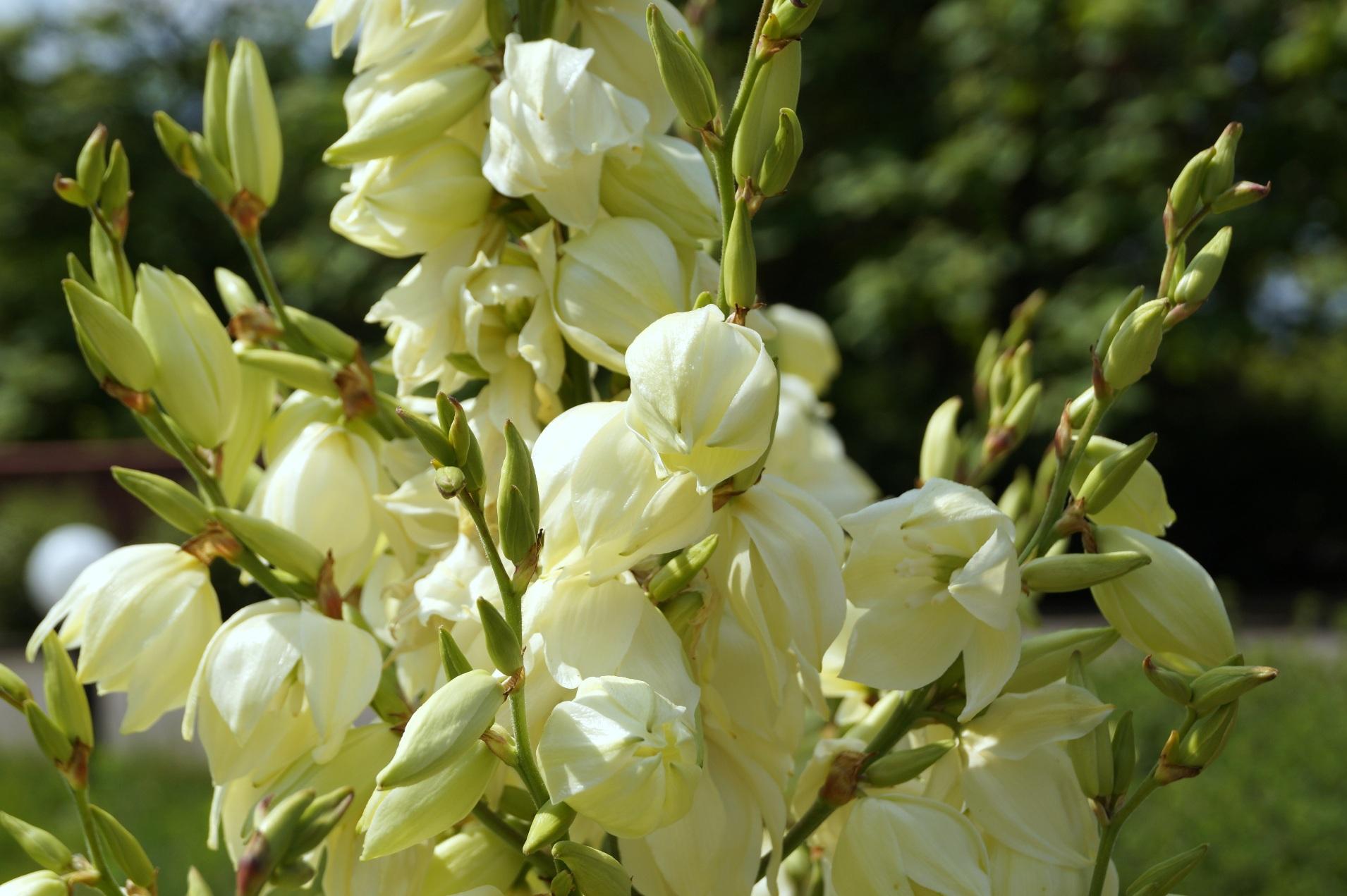 Yucca filamentosa, Yucca angustifolia – juka karolińska