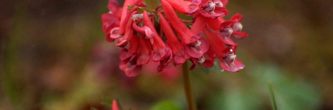 Corydalis cava, Corydalis bulbosa – kokorycz pusta