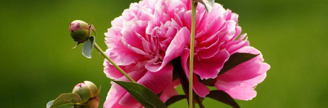 Paeonia lactiflora, Paeonia chinensis  – piwonia chińska