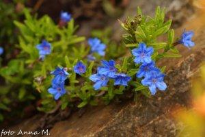 Lithospermum diffusum, Lithodora diffusa – nawrot rozpierzchły