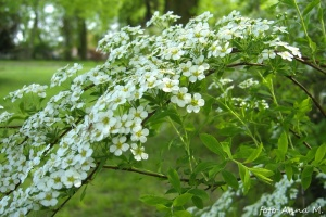 Spiraea arguta - tawuła wczesna