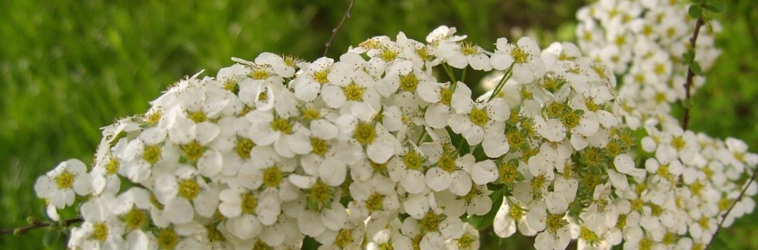 Spiraea arguta – tawuła wczesna