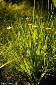 Sisyrinchium californicum - miecznica kalifornijska, żółtooka trawa