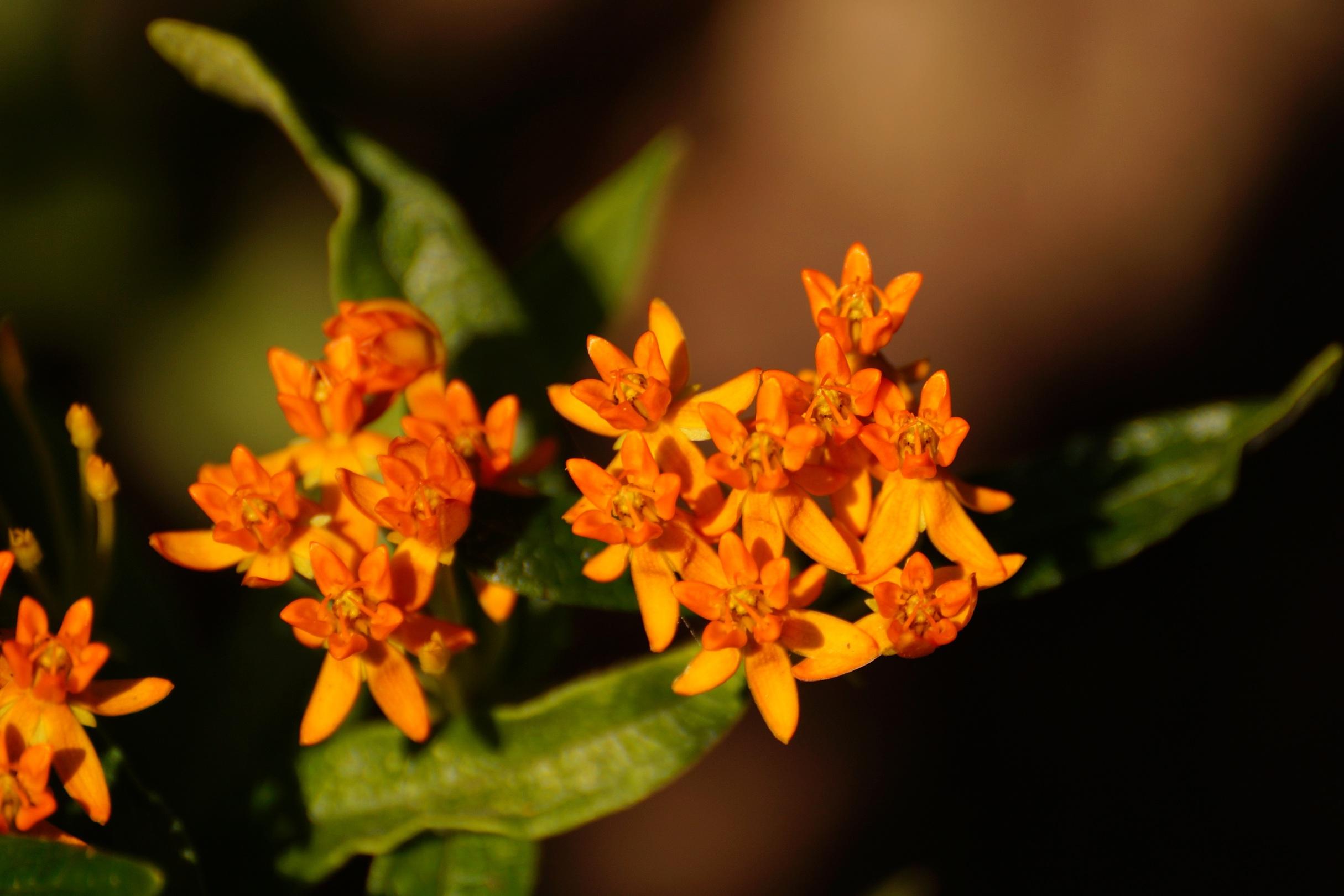 Asclepias tuberosa – trojeść bulwiasta