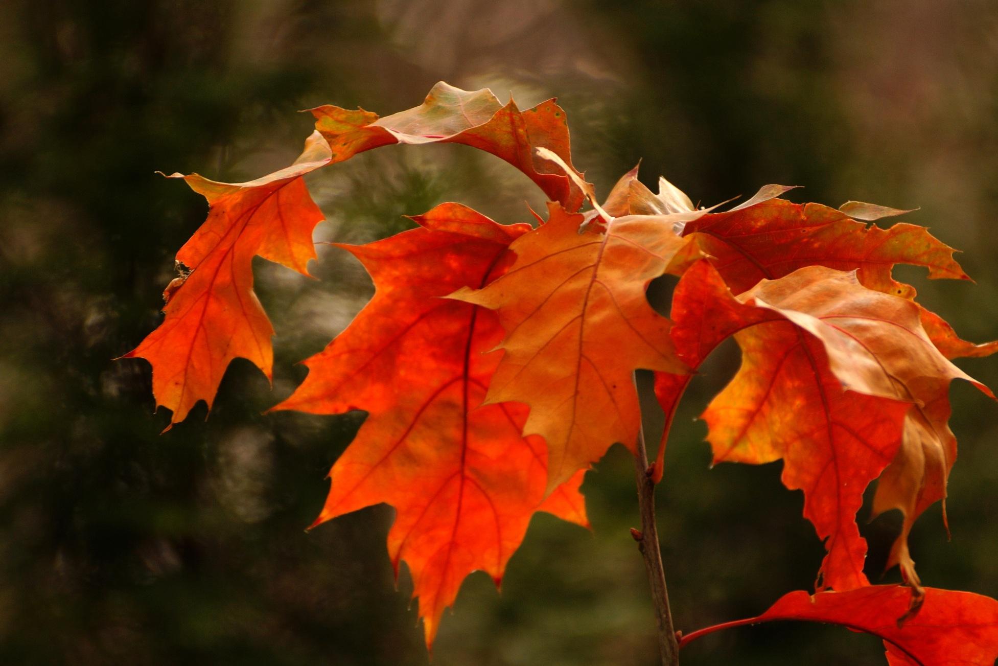 Quercus rubra, Quercus borealis – dąb czerwony, dąb amerykański
