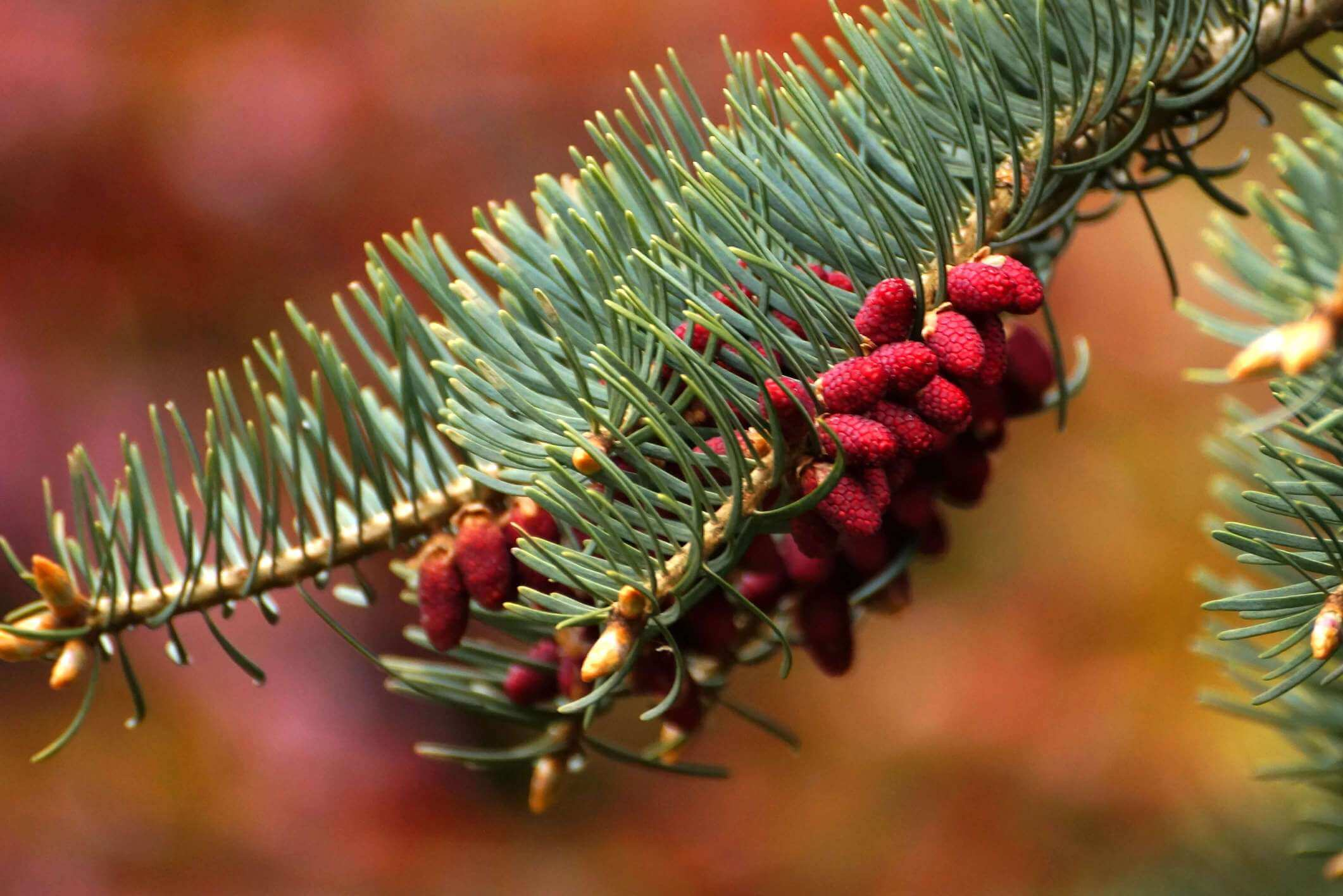 Abies concolor – jodła kalifornijska, jodła jednobarwna