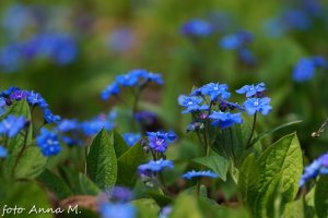 Omphalodes verna - ułudka wiosenna