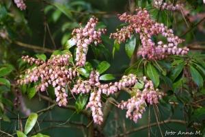Pieris japonica - pieris japoński