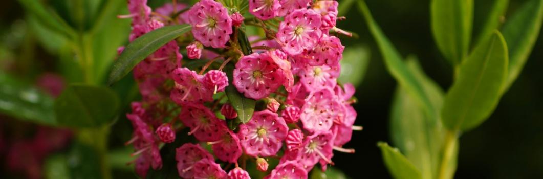 Kalmia angustifolia – kalmia wąskolistna
