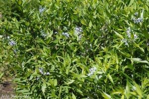 Amsonia tabernaemontana (Amsonia salicifolia) - amsonia nadreńska