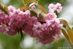 Prunus serrulata - wiśnia piłkowana