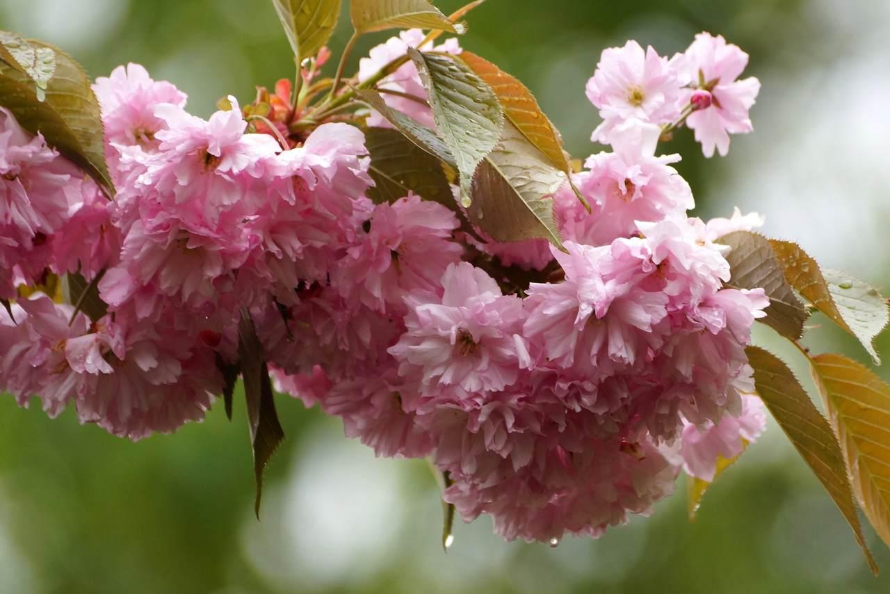 Prunus serrulata – wiśnia piłkowana