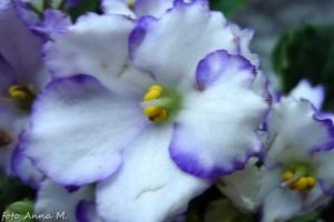Saintpaulia ionantha - sępolia fiołkowa, fiołek afrykański