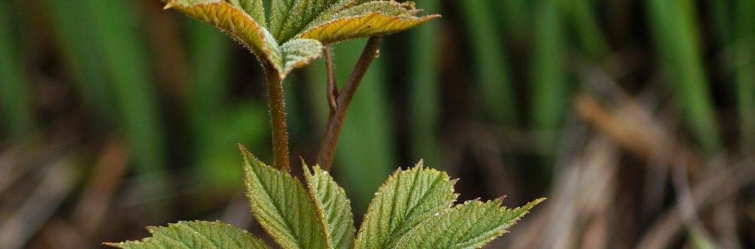 Rodgersia aesculifolia – rodgersja kasztanowcolistna