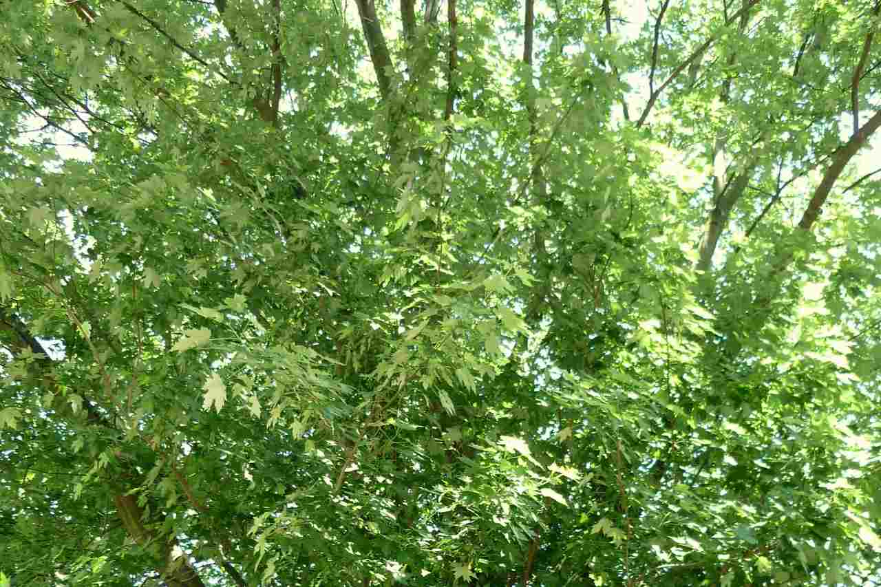Acer saccharinum – klon srebrzysty