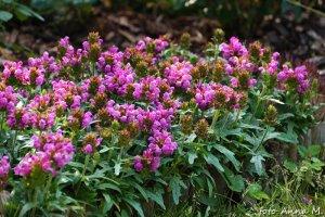 Prunella grandiflora - głowienka wielkokwiatowa