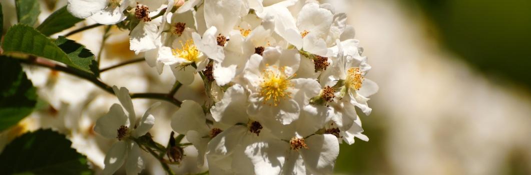 Rosa multiflora – róża wielokwiatowa