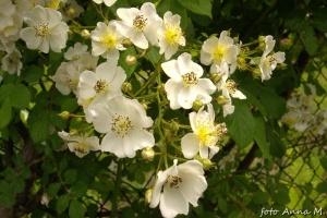 Rosa multiflora - róża wielokwiatowa