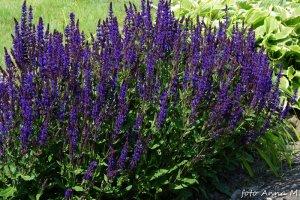 Salvia nemorosa - szałwia omszona