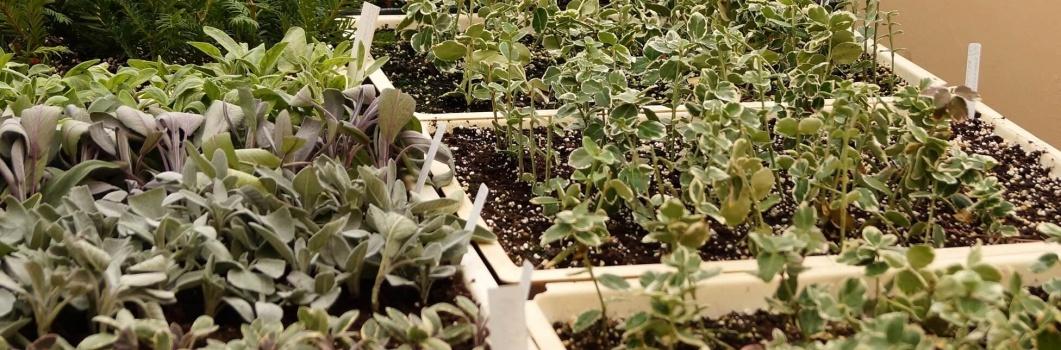 Jak zrobić sadzonki zielne