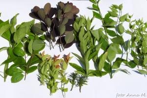 Do sporządzania sadzonek wycinamy jednoroczne, proste, zdrowe pędy.