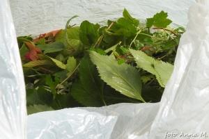 Pędy na czas cięcia sadzonek umieszczamy w wilgotnym worku foliowym i wkładamy do chłodni (lodówki)